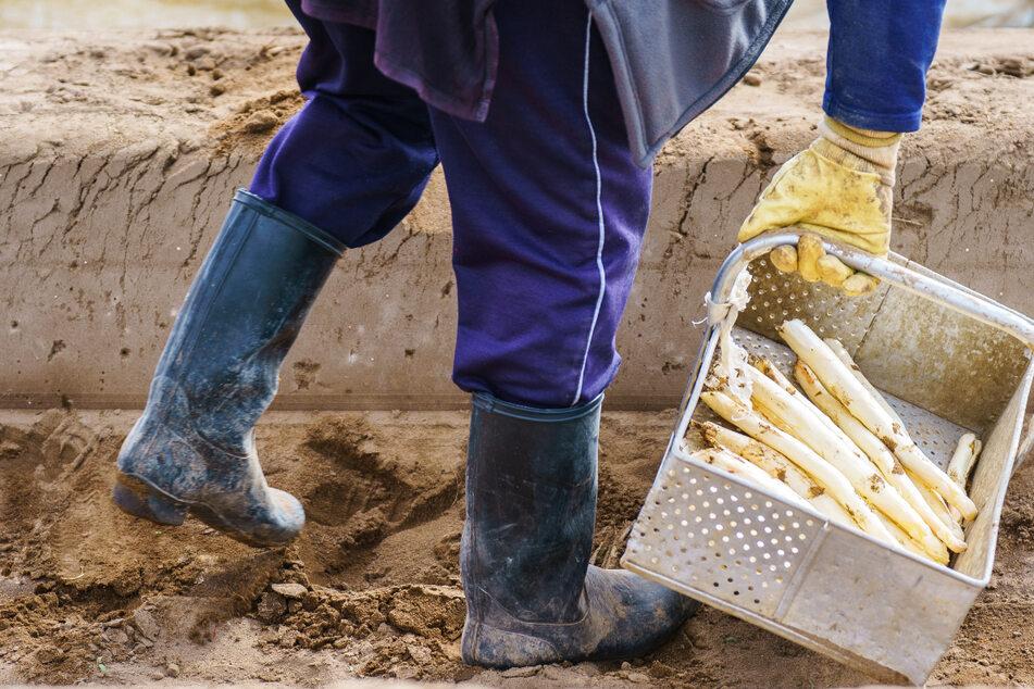 Kurz vor dem Ende der Saison ziehen die hessischen Spargelbauern eine durchwachsene Bilanz.