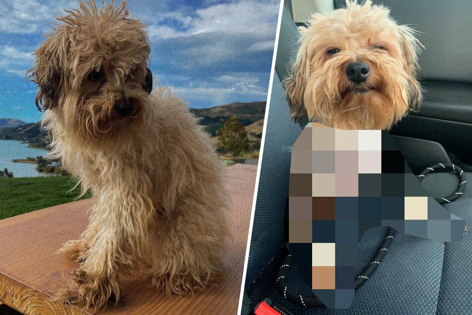 Frau verpasst ihrem Hund einen DIY-Haarschnitt und kann nicht mehr aufhören zu lachen