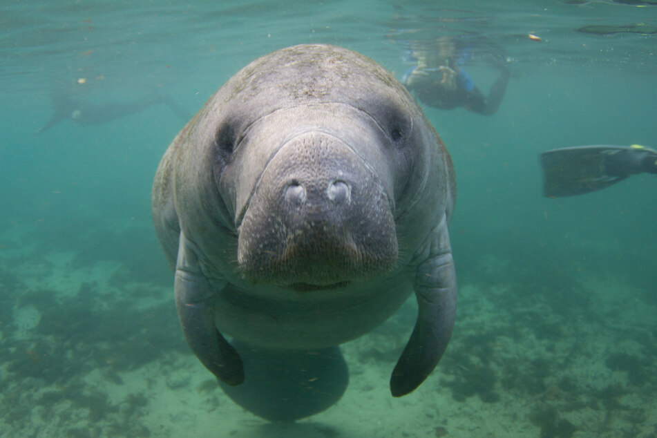 Manatee mutilated with etching of president's name