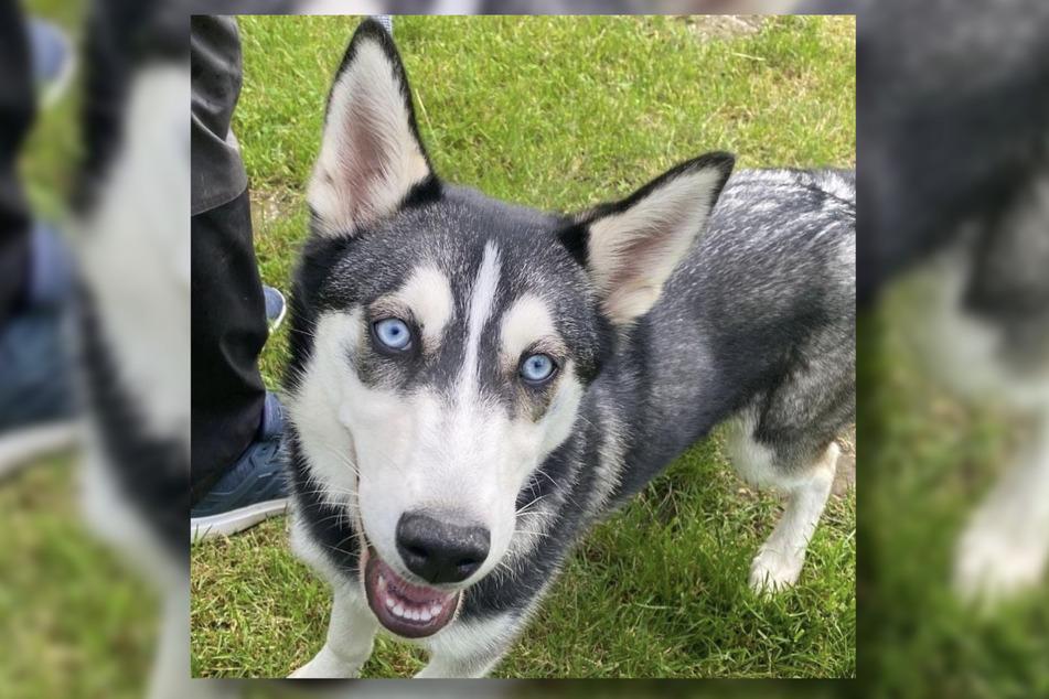 Husky Nila ist ungefähr fünf Monate alt und noch sehr verspielt.