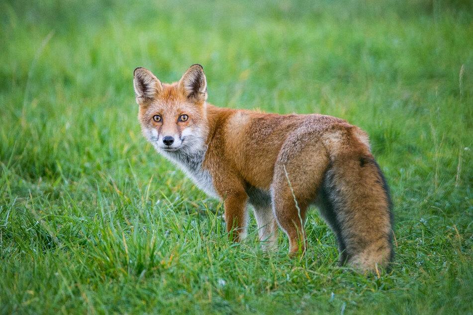 In Deutschneudorf hatte sich ein Fuchs in einem Tellereisen verfangen. Er war so schwer verletzt, dass er getötet werden musste. (Symbolbild)
