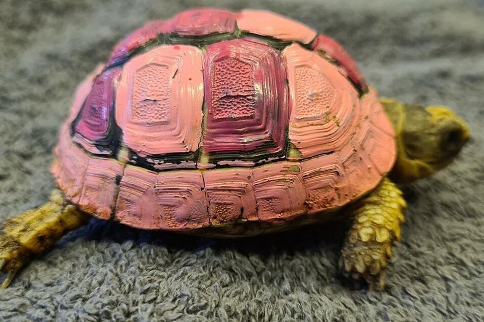 Der Panzer der griechischen Landschildkröte wurde lila und rosa bemalt.