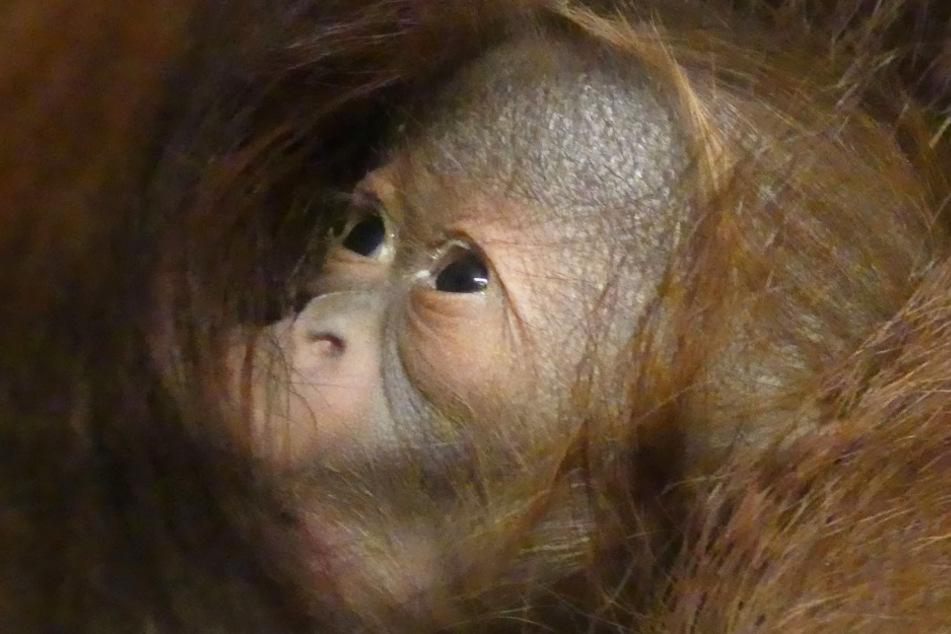 So heißt das niedliche Orang-Utan-Baby aus dem Rostocker Zoo