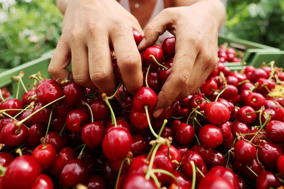 Im Rheinland sind die Kirschen reif. Die Ernte beginnt mit den frühen Sorten, dauert bis in den August hinein und wird ab Hof, auf Märkten und im Handel verkauft.