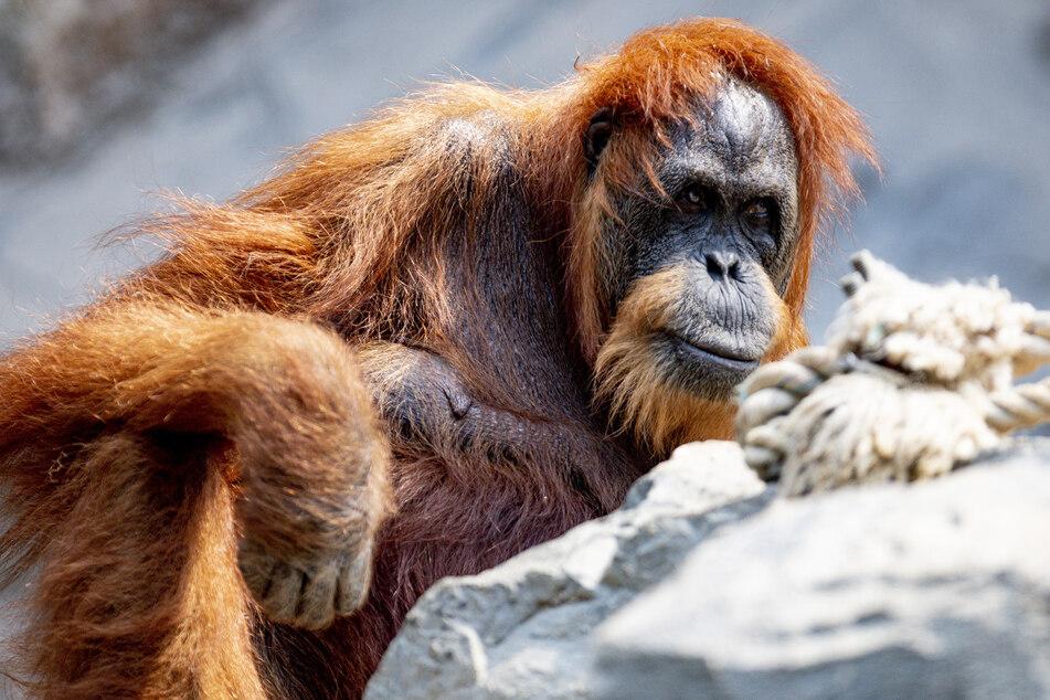 Die Orang-Utan-Dame Bella sitzt in ihrem Gehege im Tierpark Hagenbeck.