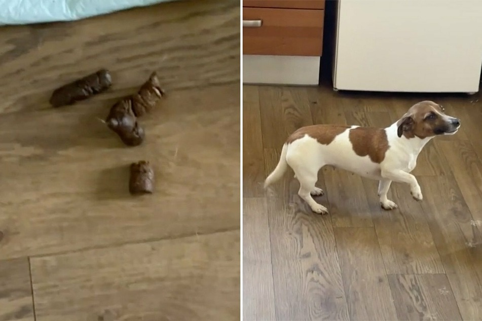 Wasn't me! Dog has a hilarious way of trying to cover up a stinky mess