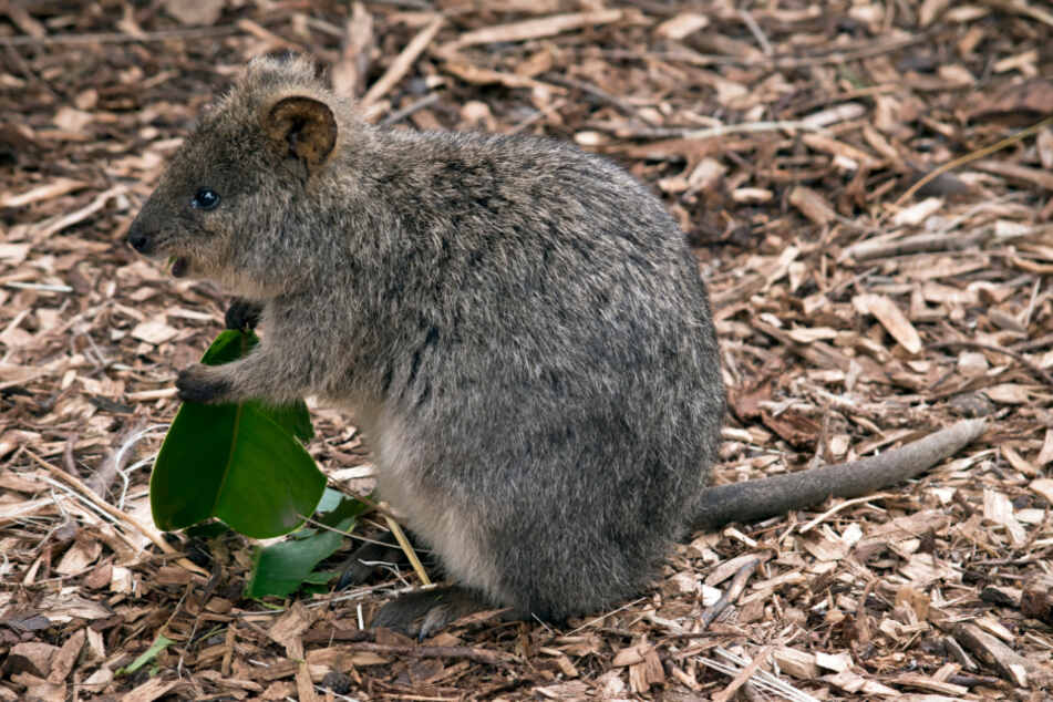 The quokka is a species of marsupial in the kangaroo family.