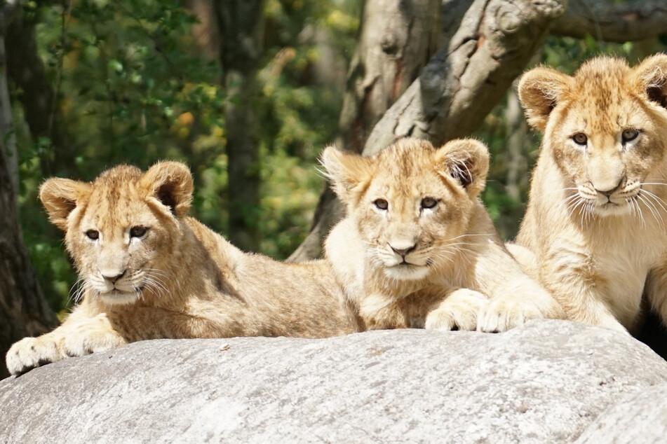 Wie sollen die Leipziger Löwenbabys heißen? Ihr entscheidet!