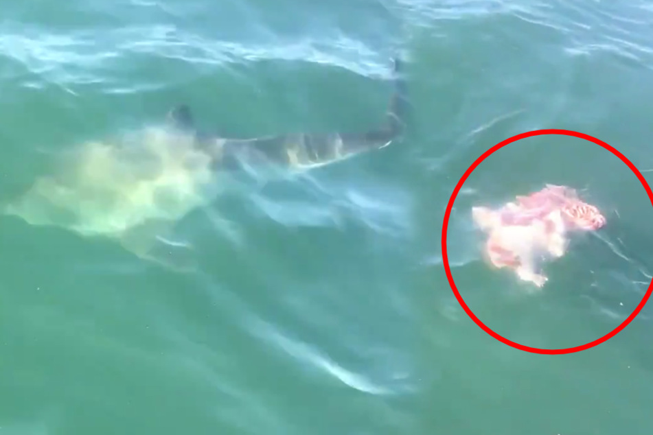 Fischer total erstaunt darüber, was Weißer Hai mit einer Robbe anstellt