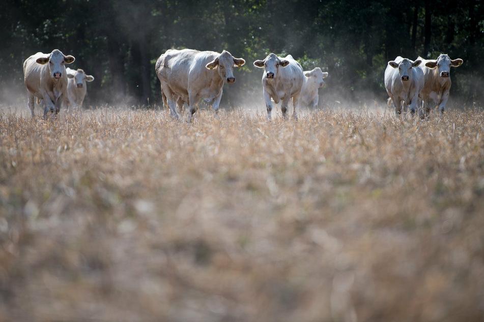 Kühe auf einer trockenen Weide: Dürreperioden sind die andere Facette des Klimawandels.