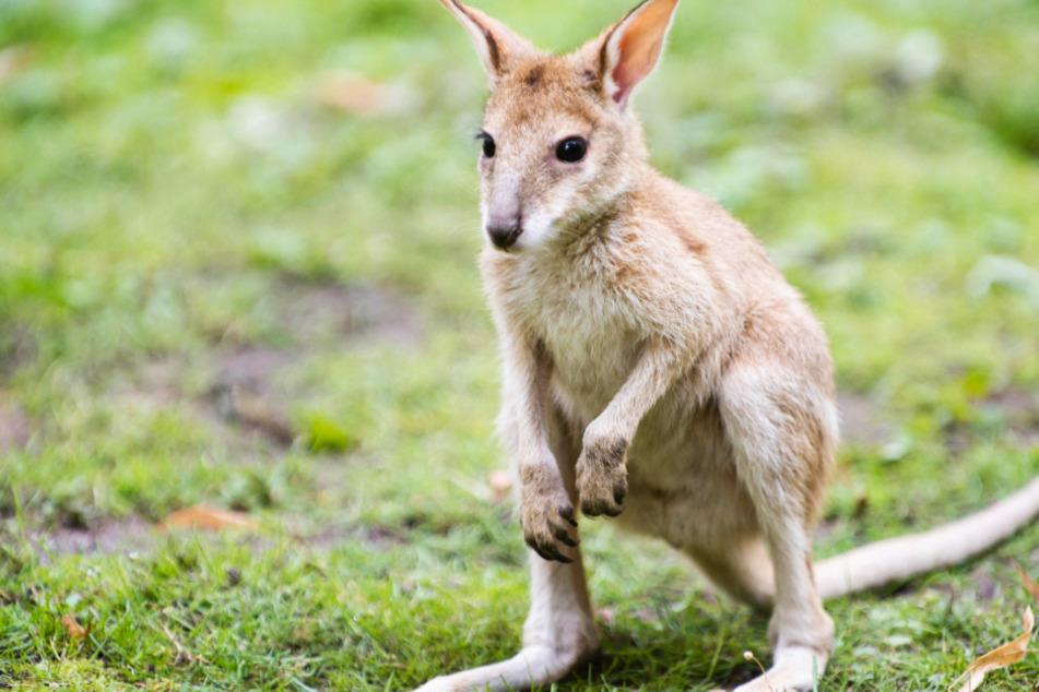 Das gesuchte Känguru-Baby wurde bei einem Autounfall getötet. (Symbolfoto)