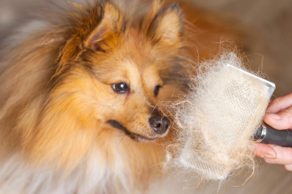 Hunde, die nicht haaren: Diese Rassen sind keine Fellmonster
