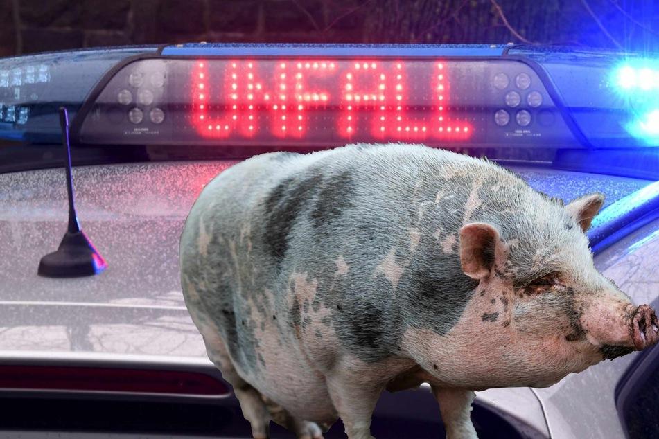 Die Polizei sucht nach einem Unfall in Rastede nach einem toten Hängebauchschwein. (Symbolbilder)