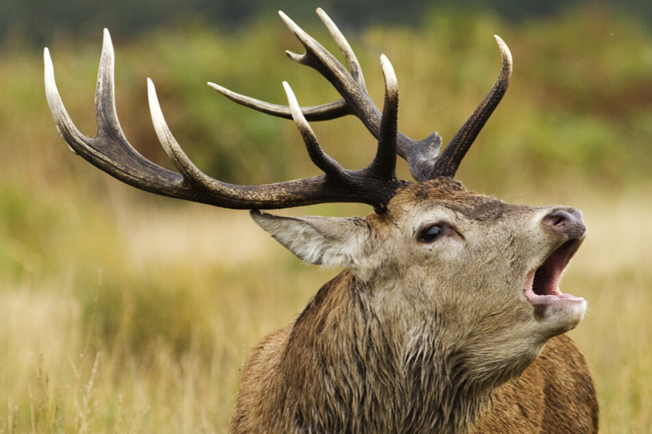 Polizei möchte verirrten Hirsch retten, doch Jagdpächter erschießt das Tier