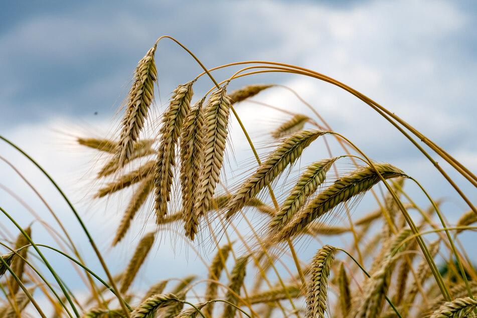 """Getreideexperten beobachten """"teilweise historische Preisausschläge"""" bei Getreide, Mais und Ölsaaten wie Raps - möglicherweise mit Folgen für die Verbraucher. (Symbolbild)"""