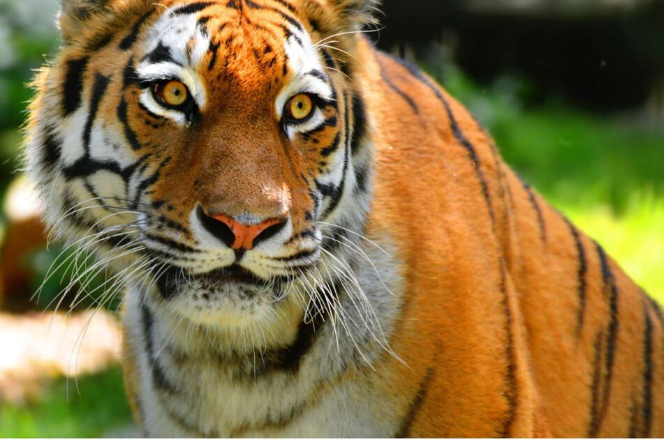 2007 wurde Tigerin Irina geboren. 36 Jahre lang wurde die Raubtierart im Hoyerswerdaer Zoo gehalten.