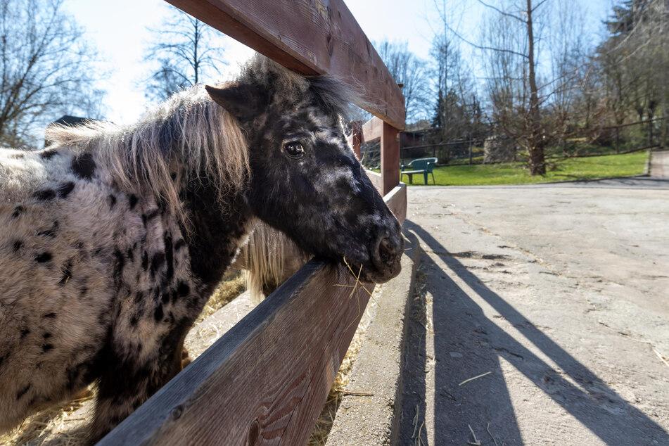 Die Zwergponys vermissen die Besucher im Auer Zoo.
