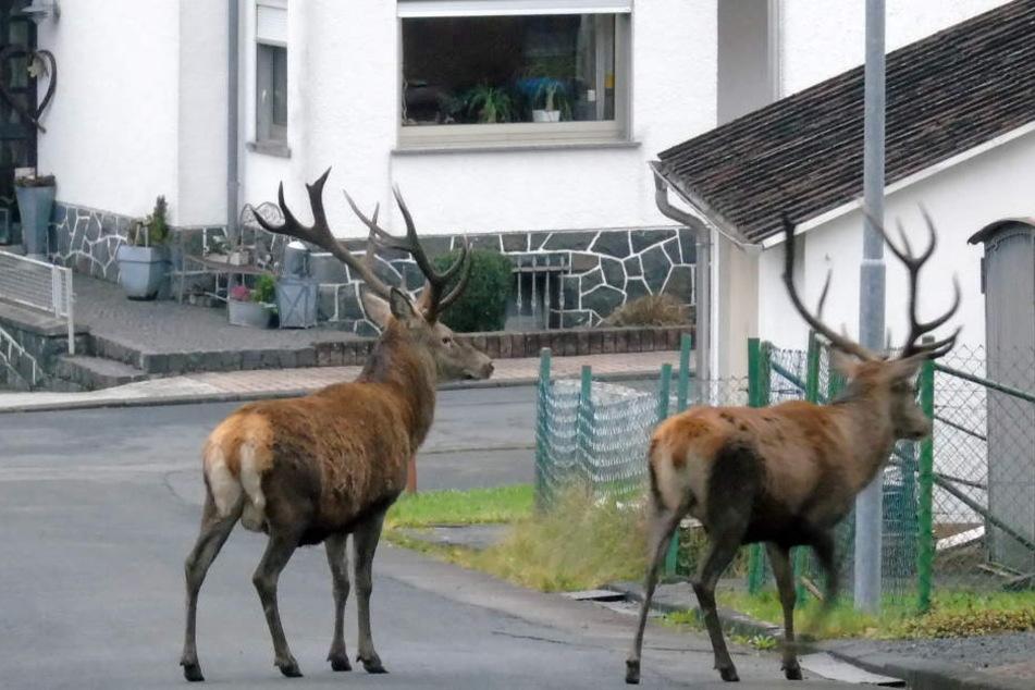 Zwei ausgewachsene Hirsche laufen ohne Scheu durch den Ort.