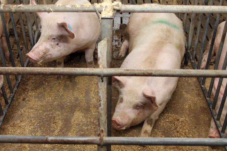 Schweine in einem konventionellen Kastenstall. Die Schweine in dem Mastbetrieb im Alb-Donau-Kreis mussten aufgrund ihres Zustandes getötet werden.