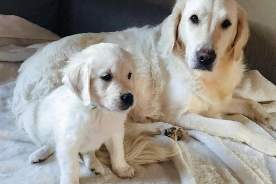 """Der inzwischen weiße Hund """"Mojito"""" sitzt vor seiner Mutter """"Melody""""."""