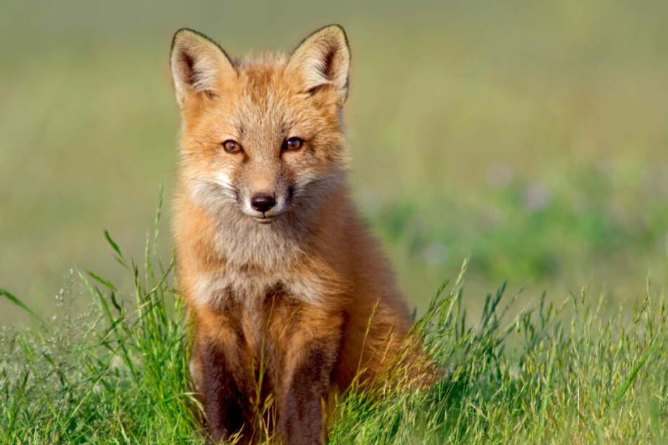 Der Fuchs überstand die Fahrt nahezu unverletzt. (Symbolbild)