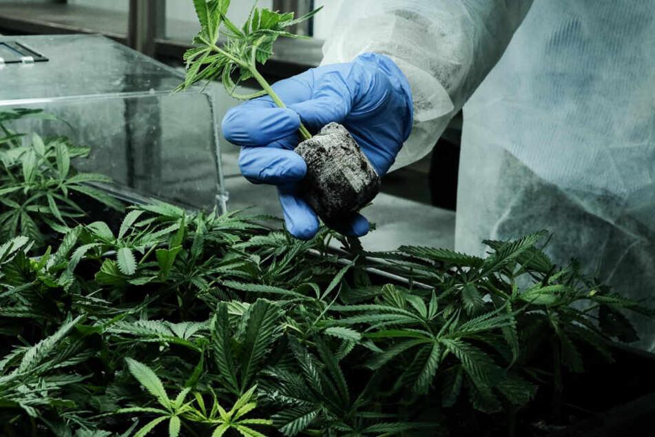 Die Ermittler fanden rund 150 Pflanzen in der Wohnung des jungen Mannes (Symbolfoto).