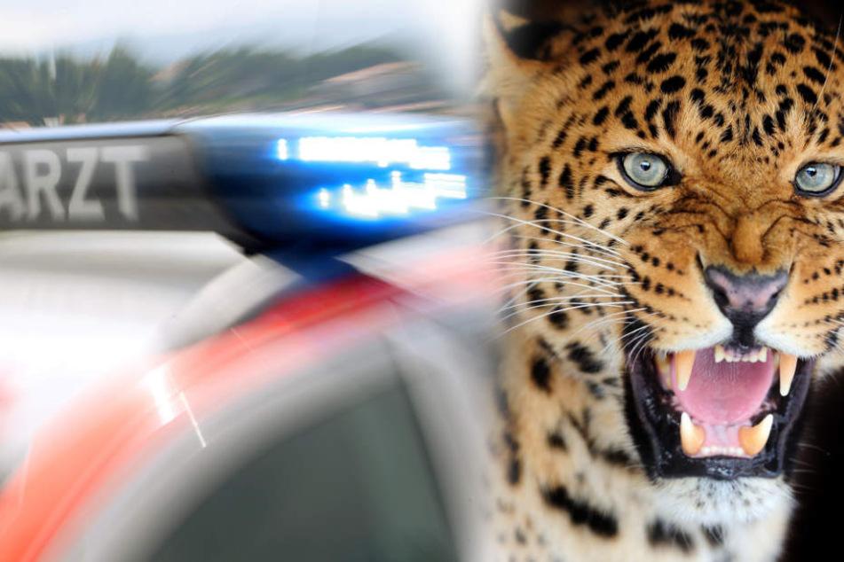 Der Leopard setzte sich nach der Attacke auf das Wohnmobil der Deutschen, ließ sich nicht verscheuchen. (Fotomontage/Symbolbild)