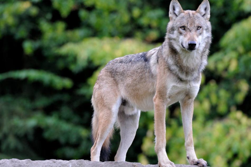 Ein Wolf ist für die toten Kälber im Landkreis Oberallgäu verantwortlich. (Symbolbild)