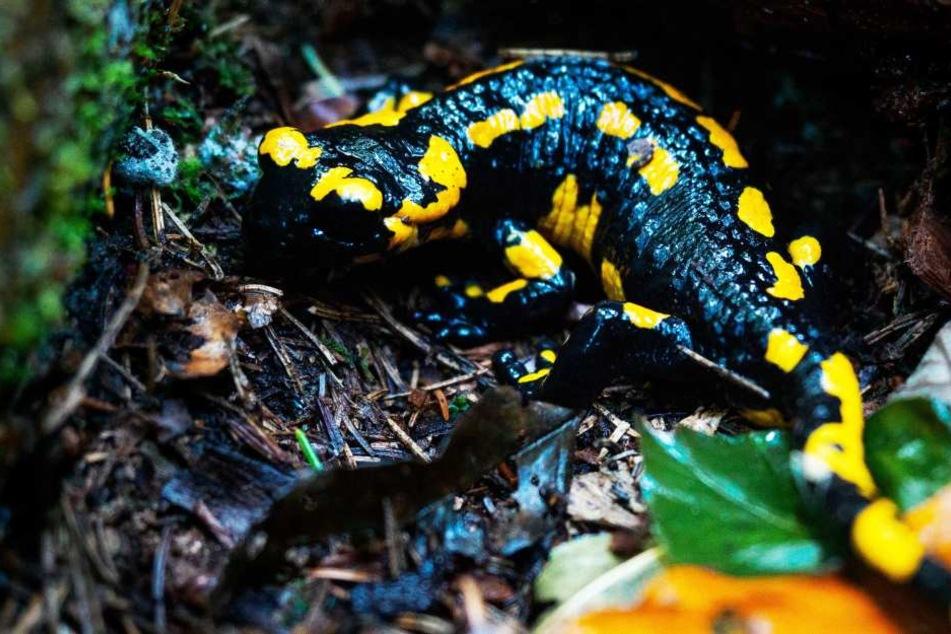Eine der auffälligsten Amphibienarten in Deutschland ist in Gefahr. Ein tödlicher Pilz rückt ihnen zuleibe.