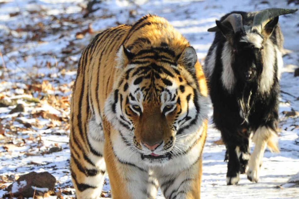 Ende einer tierischen Freundschaft: Berühmter Ziegenbock ist tot