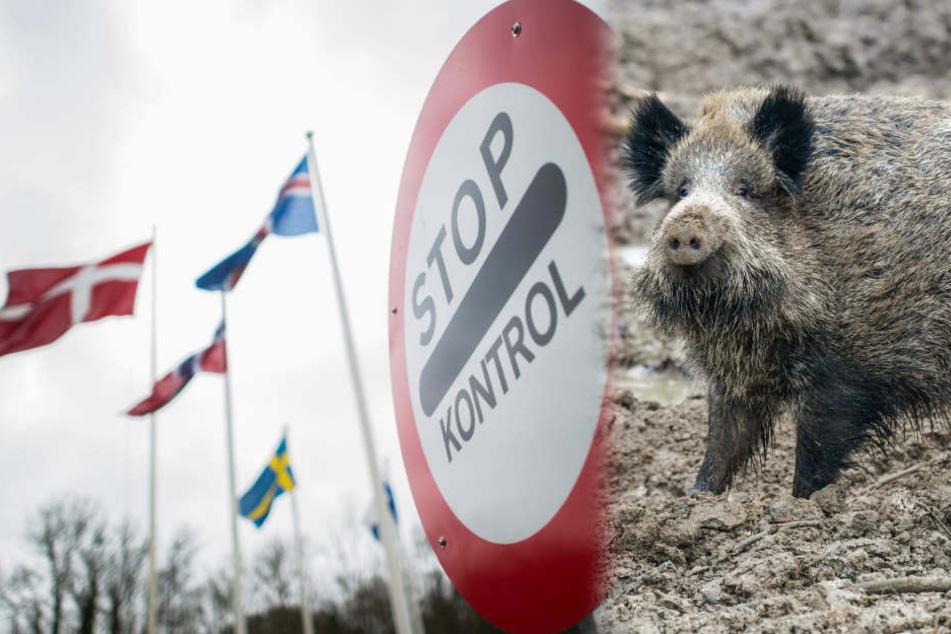 Danemark Baut Grenzzaun Gegen Wildschweine