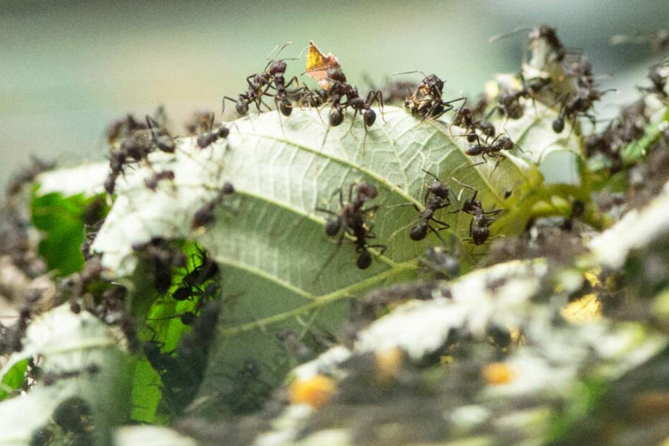 Ameisen zerlegen ein Blatt.
