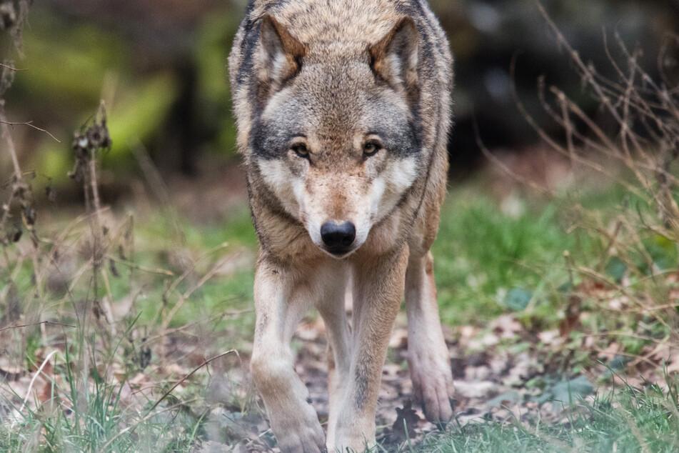 Ist ein friedliches Zusammenleben zwischen Menschen und Wölfen in Hessen möglich?