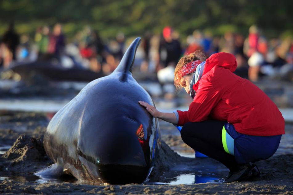 Dank der 500 freiwilligen Helfern konnten über 200 Wale gerettet werden.