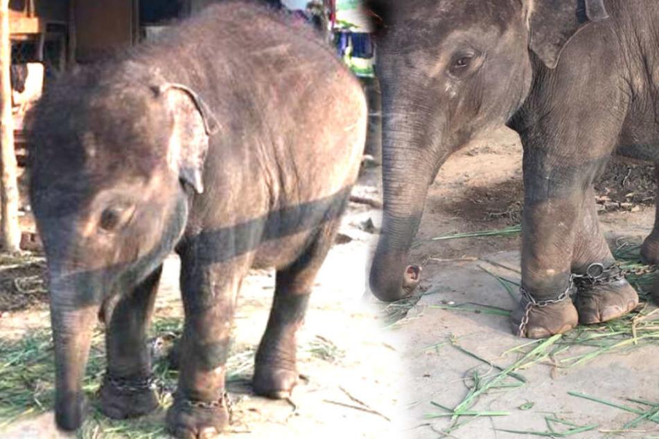 Elefantenbaby misshandelt und angekettet: So leidet Touri-Magnet Meena!
