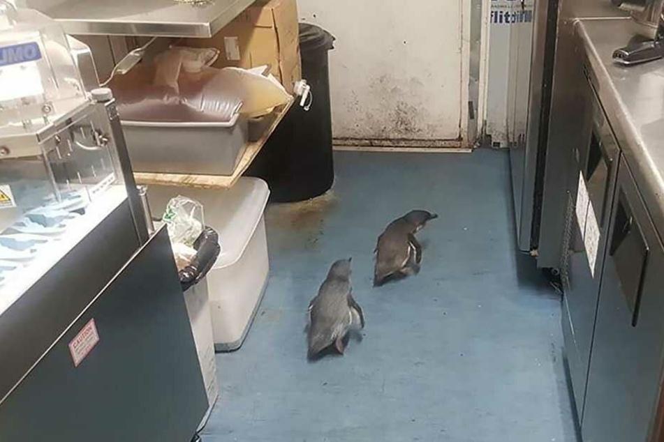 Schau' mal an! Im neuseeländischen Wellington haben sich zwei Pinguine in einem Sushi-Laden eingenistet.