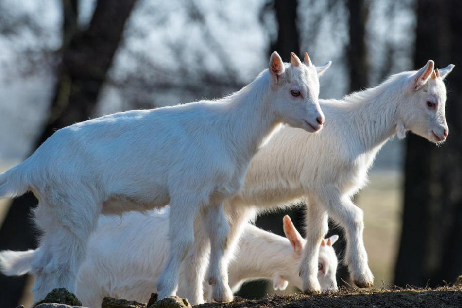 Die ausgebüchsten Ziegen konnten sicher zurück ins Gehege gebracht werden.