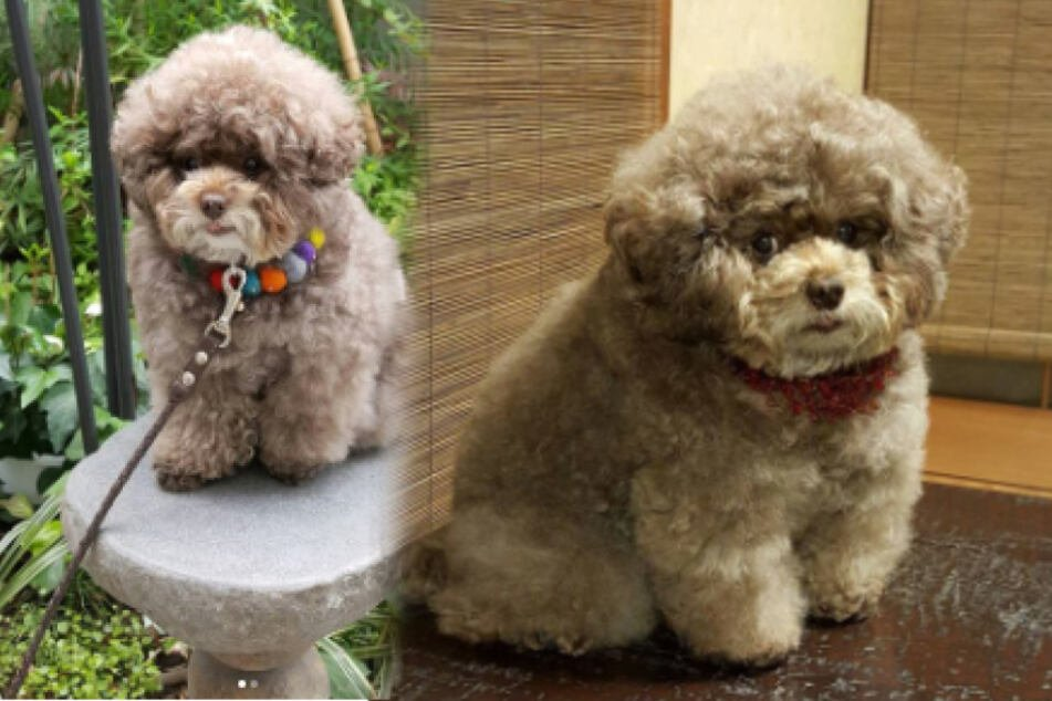 Pup with curly fluff and human-like face takes users' hearts by storm