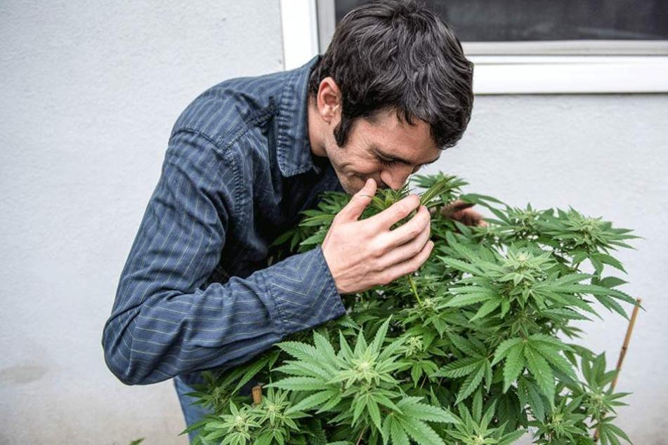 Die Erforschung der Wirkung von Cannabiskonsum muss vorerst noch warten.