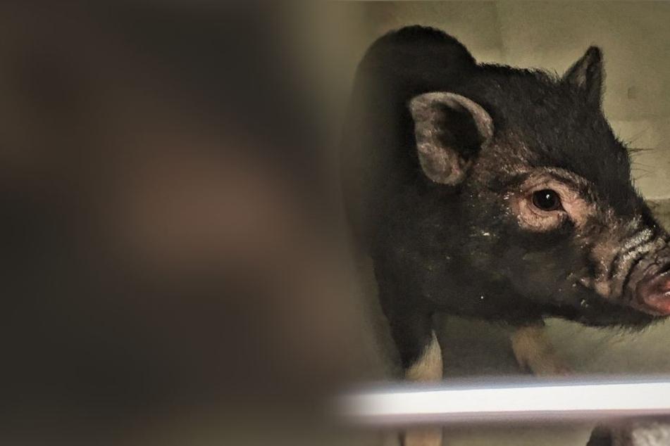 Kleines Schweinchen in Lebensgefahr: Diese Köstlichkeit bewahrte es vor dem Tod