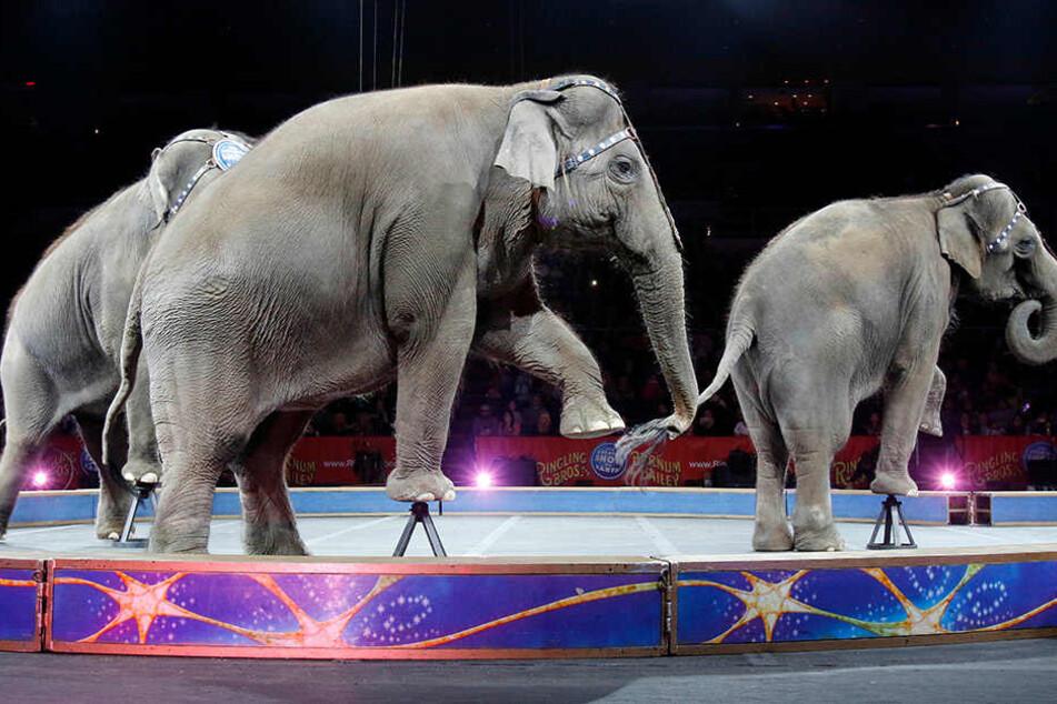 Verbot auf der Kippe! Treten in Leipzig bald wieder Elefanten auf?