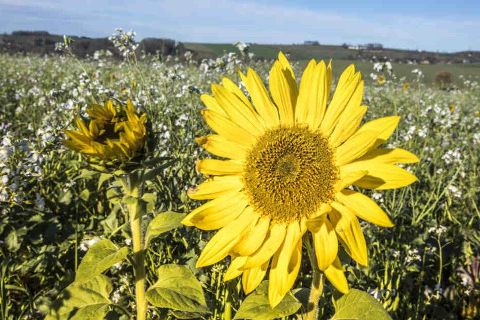 Durch die milden Temperaturen blühen im Erzgebirge sogar noch Sonnenblumen.