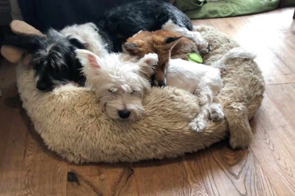 Jack (vorn) und Pumpkin (rechts) lieben es miteinander zu kuscheln. Dazu gesellt sich dann auch Croqueta, die ebenfalls zur Familie der Tierärztin gehört.