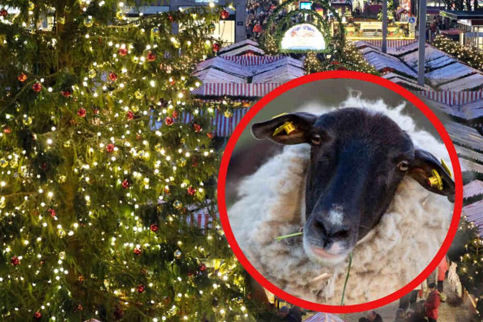 Määääh! Schafen finden den Trubel auf dem Leipziger Weihnachtsmarkt gar nicht so lustig. (Bildmontage)