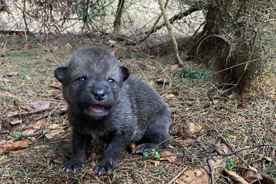 Diesen kleinen Wolfswelpen nahmen die Touristen aus dem Wald mit. Nun suchen Tierschützer sein Rudel - und seine Mutter.