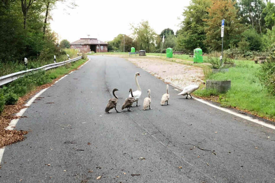 Die Schwanenfamilie verirrte sich auf die A1.