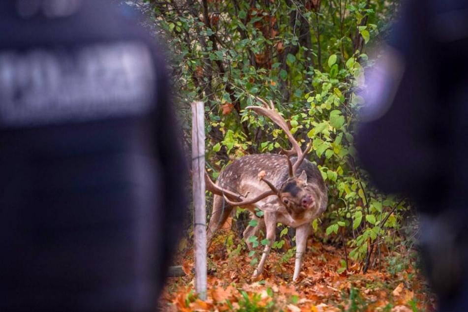 Spektakuläre Rettung! Hier steckt ein Hirsch im Zaun fest