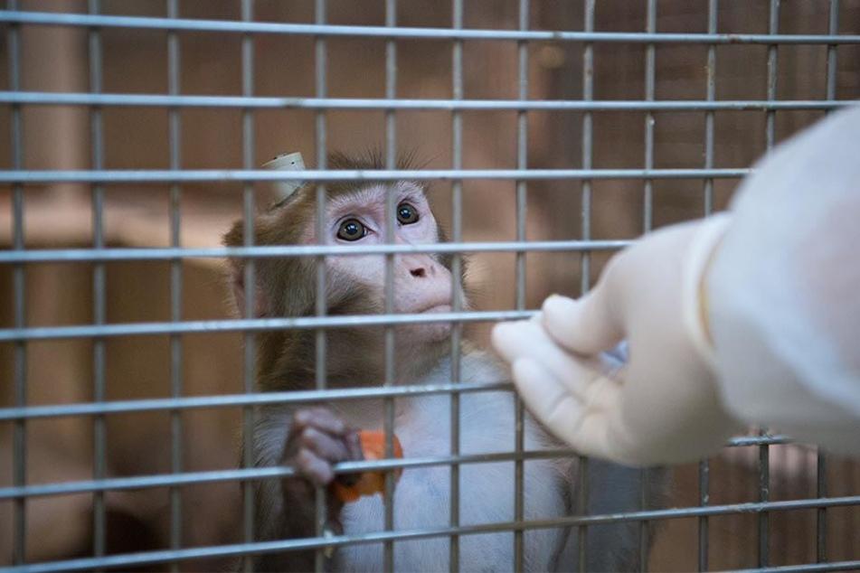 Ein Rhesus-Affe mit einem Implantat wird am 10.03.2016 in der Tierhaltung im Max-Planck-Institut für biologische Kybernetik in Tübingen von einem Tierpfleger gefüttert.