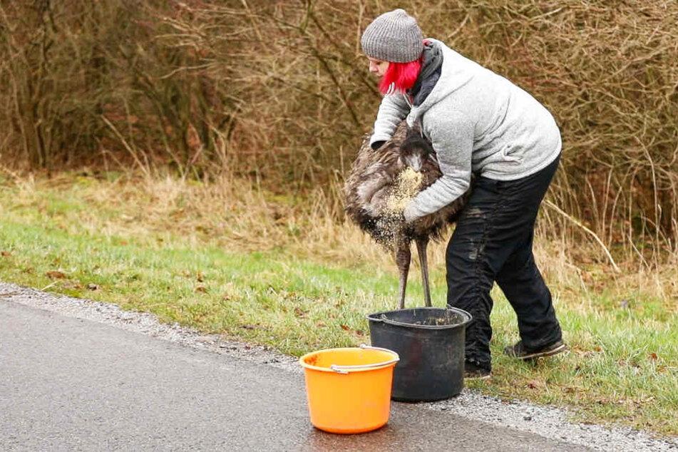 Der Emu wurde mit Futter gelockt und gefangen.