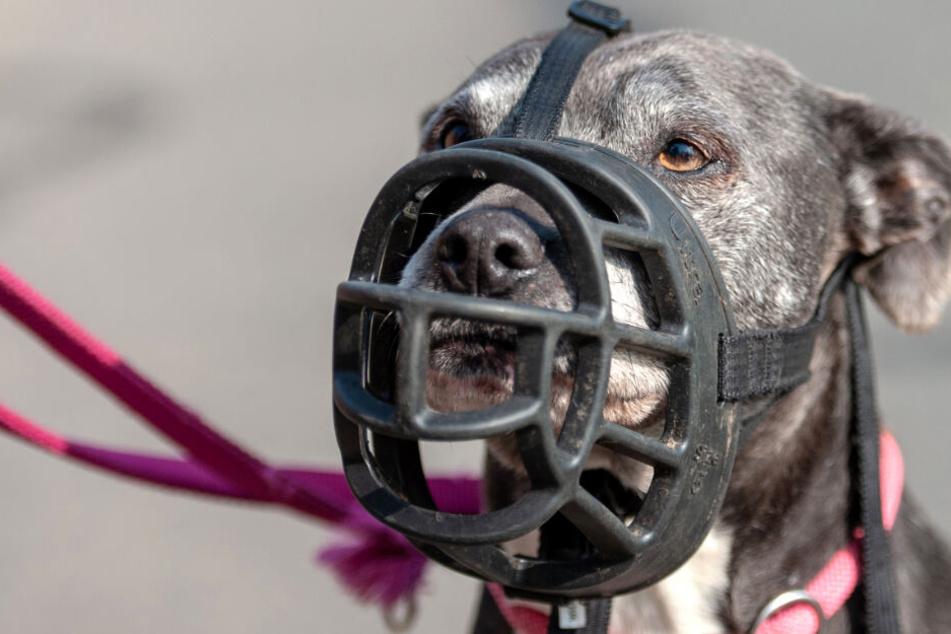 Die beiden elf Monate alten Terrier der Rasse American Staffordshire hätten nicht nur angeleint, sondern auch einen Maulkorb tragen müssen. Dies sei Pflicht bis zur Wesensprüfung, die ab dem zwölften Lebensmonat vorgenommen werden könne, so die Polizei.
